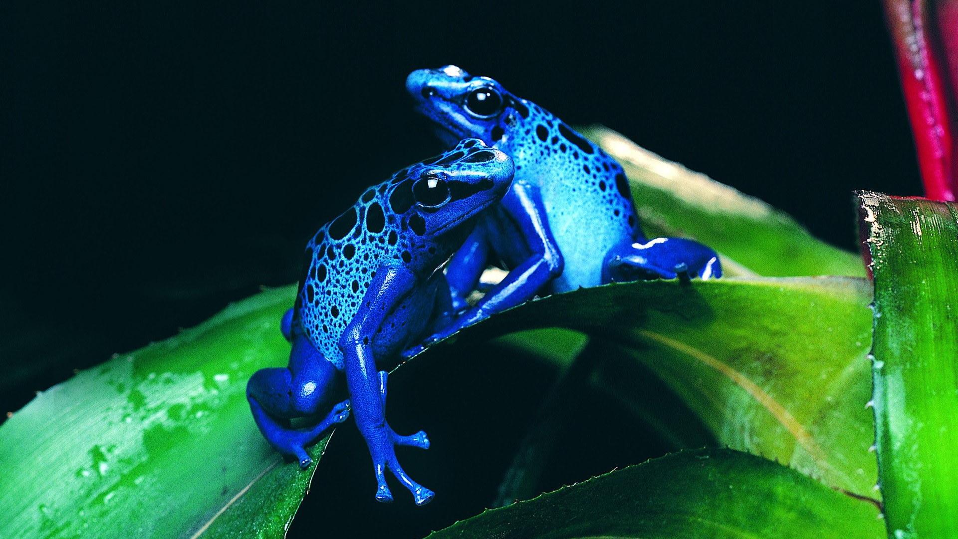 Голубые лягушки лягушка