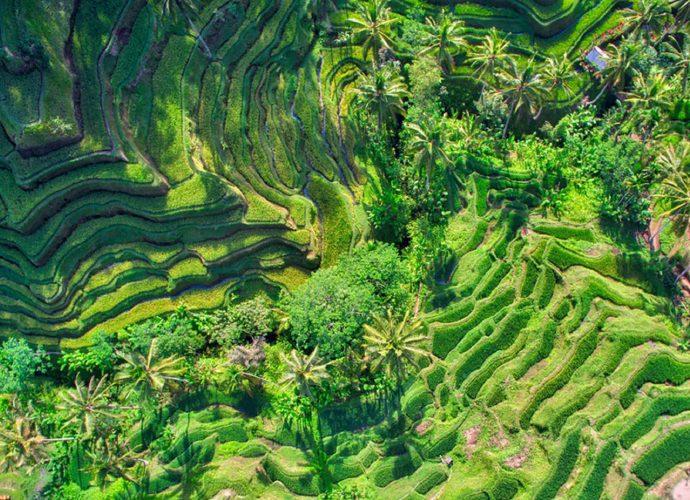 Рисовые поля рис поле