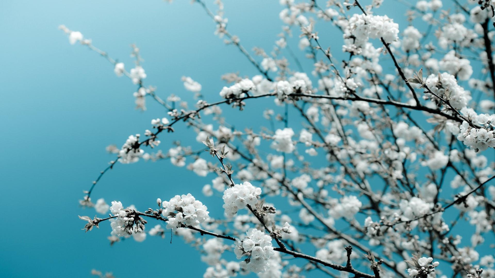 Сакура в цвету цветы весна