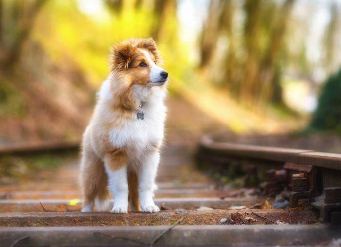 Шелти шелти собаки