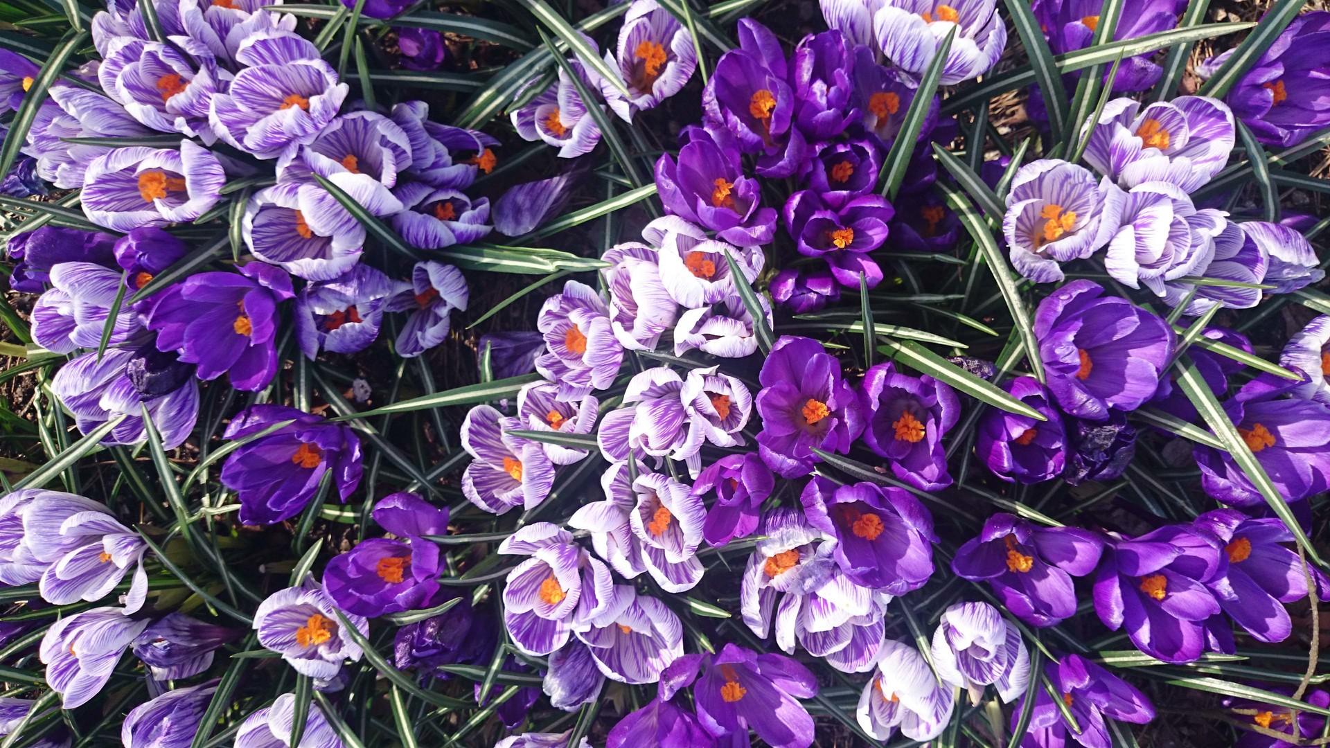 Тюльпаны цветы тюльпаны