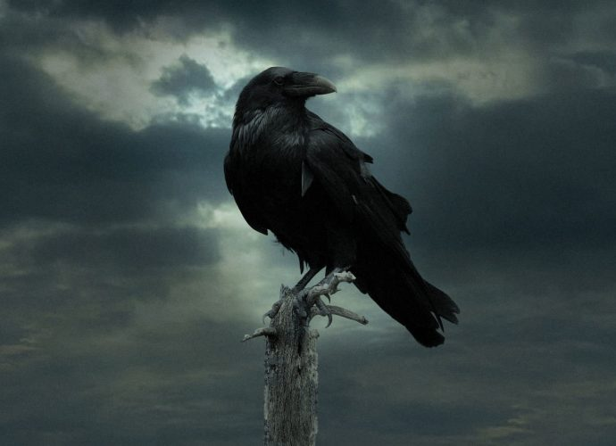 Черный ворон птицы ворон