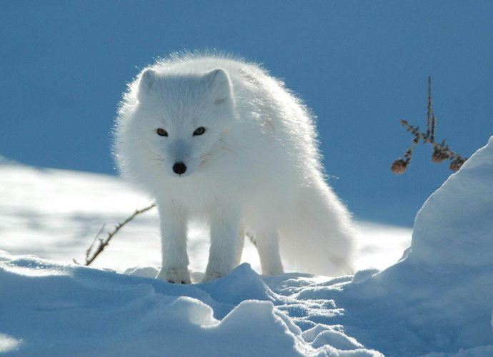 Песец снег песец зима