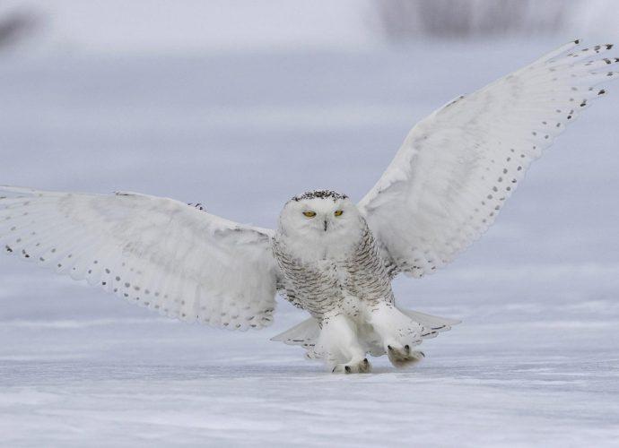 Полярная сова сова снег зима