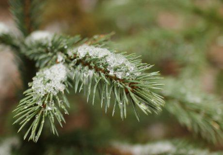 Тает лёд снег ель дерево весна