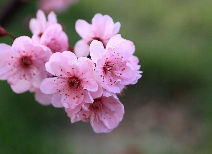 Сакура в полном цвету цветы сакура вишня