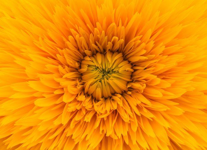 Солнечная гербера цветы