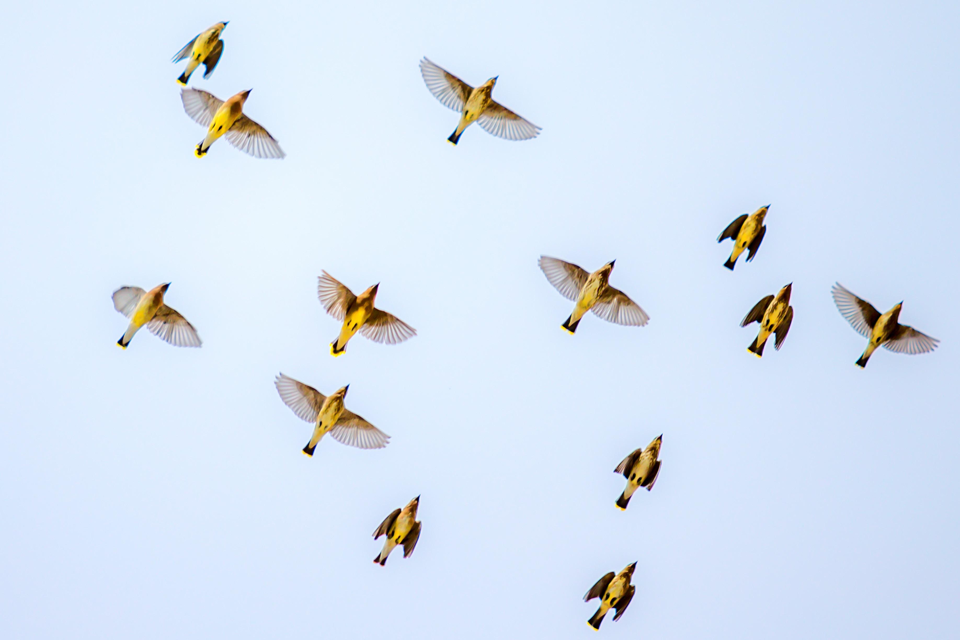Свиристели в полёте птицы небо