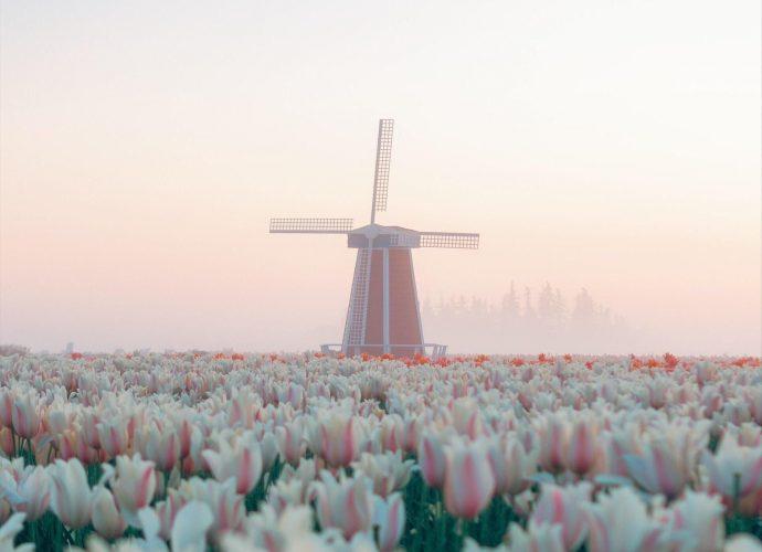 Тюльпаны в Орегоне цветы тюльпаны туман мельница