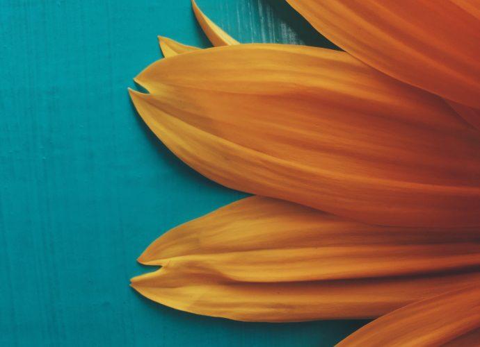 Желтая гербера цветы гербера