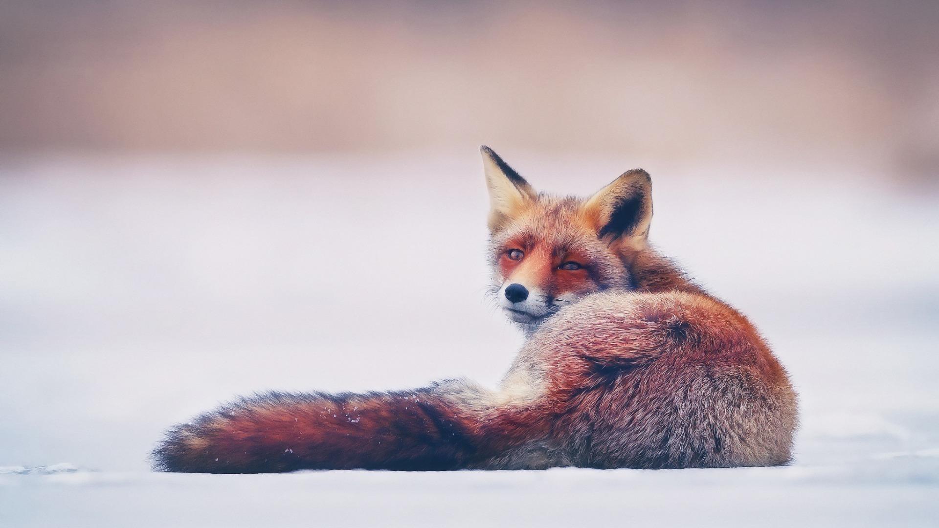 Рыжая лисица снег лиса