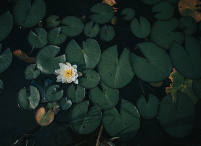 Кувшинки цветы кувшинки