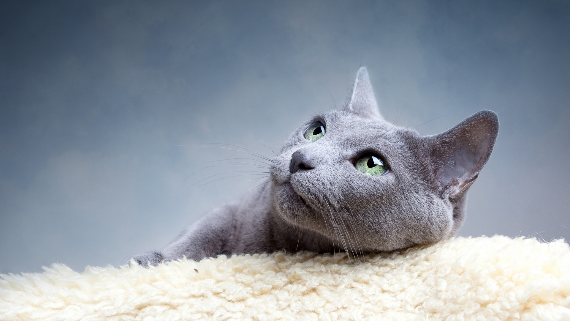 Дымчатый кот кот
